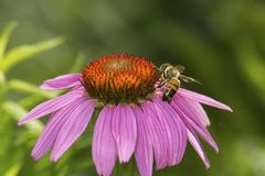 Honeybee foraging for nectar on a purple cone flower, Connecticu Stock Images