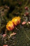 Honeybee, Apis mellifera, gathers pollen from the yellow flower Royalty Free Stock Photo