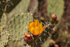 Honeybee, Apis mellifera, gathers pollen from the yellow flower Royalty Free Stock Photos