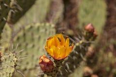 Honeybee, Apis mellifera, gromadzenia się pollen od żółtego kwiatu Zdjęcie Stock