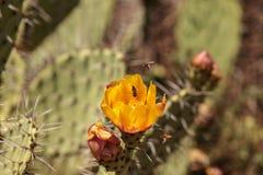 Honeybee, Apis mellifera, gromadzenia się pollen od żółtego kwiatu Zdjęcia Stock