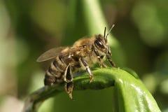 Honeybee (Apis mellifera) before takeoff Stock Images