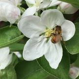 Honeybee on Apple Blossom Royalty Free Stock Photography