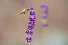 Honeybee approaching Stock Photos