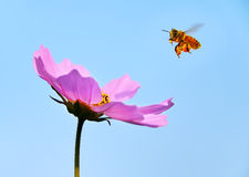Honeybee approching Stock Photography