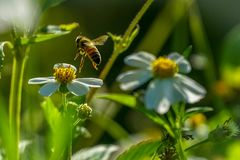 Honeybee Aproaching Stock Images