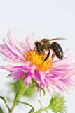 Honeybee at an aster Royalty Free Stock Photography
