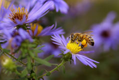Honeybee on aster. A honeybee (Apis mellifera) sips nectar from an aster in a butterfly garden royalty free stock image