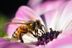 Honeybee in beautiful flower Stock Images
