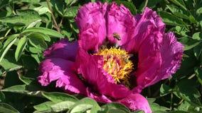 Honeybee on beautiful peony flower in spring stock video footage