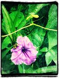 Honeybee. Bee on mexican petunia Royalty Free Stock Image