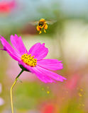 Honeybee bierze daleko zdjęcia stock