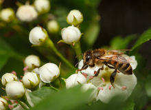 Honeybee on blossom whitethorn Royalty Free Stock Photos