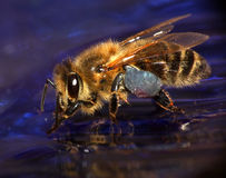 Honeybee on Blue Background. With Pollen Royalty Free Stock Images