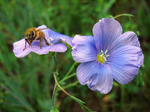 Honeybee on blue flower Stock Photo