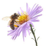 Honeybee and blue flower Stock Images