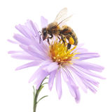 Honeybee and blue flower Stock Image