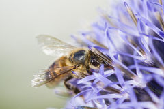 Honeybee on blue thistle Royalty Free Stock Image