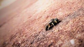 Honeybee on brick  Stock Photos