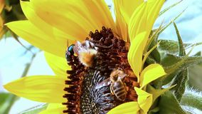 Honeybee with bumble-bee on sunflower stock video