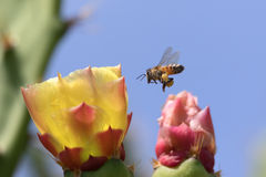 Honeybee and Cactus Flower Royalty Free Stock Photo