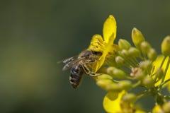 Honeybee - canola kwiat Obrazy Royalty Free