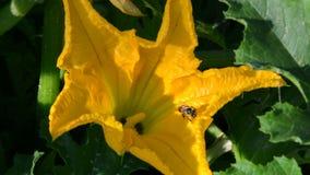 Honeybee cleaning itself video stock video footage