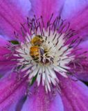 HONEYBEE ON CLEMATIS. Apis mellifera collecting pollen on a Clematis flower in the spring Stock Photo