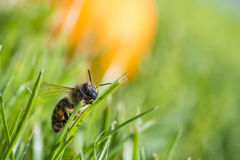 Honeybee climbing on a blade of grass isolated Royalty Free Stock Image