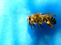 Honeybee 6 Stock Photography