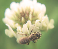 Honeybee. Closeup of honey gather pollen from white wildflower Royalty Free Stock Photography
