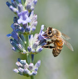 Honeybee collecting nectar Stock Image