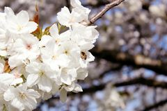 Honeybee collecting nectar from white flower blossoms royalty free stock photos