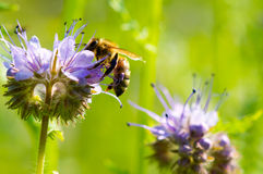 Honeybee collecting polle. N from Phacelia Stock Image
