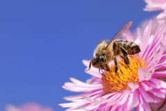 Honeybee collecting pollen Royalty Free Stock Photography