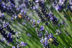 Honeybee collecting pollen from lavender Stock Images