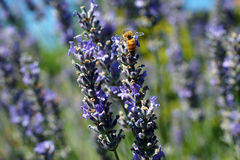 Honeybee collecting pollen from lavender Royalty Free Stock Photos