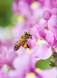 Honeybee. Collecting pollen from pink Nemesia flower Royalty Free Stock Photo