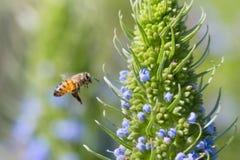 Honeybee Stock Photography