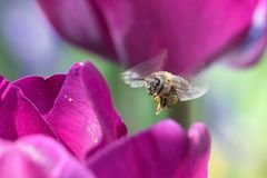 Honeybee and Tulips Royalty Free Stock Photography