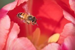 Honeybee and Tulips Royalty Free Stock Photos