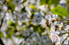Honeybee Stock Images