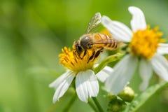 Honeybee collecting pollen Stock Images