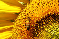 Honeybee collects flower nectar. From sunflower Stock Photography