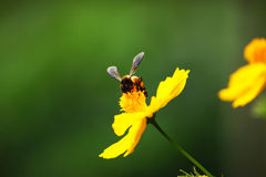 Honeybee collects flower nectar. From yellow cosmos Royalty Free Stock Photo