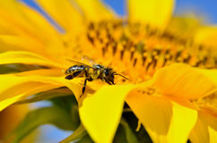 Honeybee collects nectar on the flowers of a sunflower Stock Photos