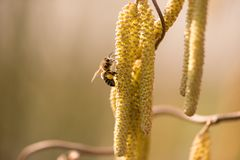 Honey bee collects pollen on a corkscrew Hazelnut shrub in spring against blurred background stock photography