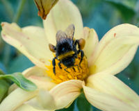 Honeybee collects pollen on yellow flower. At garden. macro shot from top Stock Photo