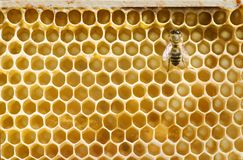 Honeybee on a comb Royalty Free Stock Photography