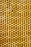 Honeybee on a comb. One honeybee on a comb royalty free stock images
